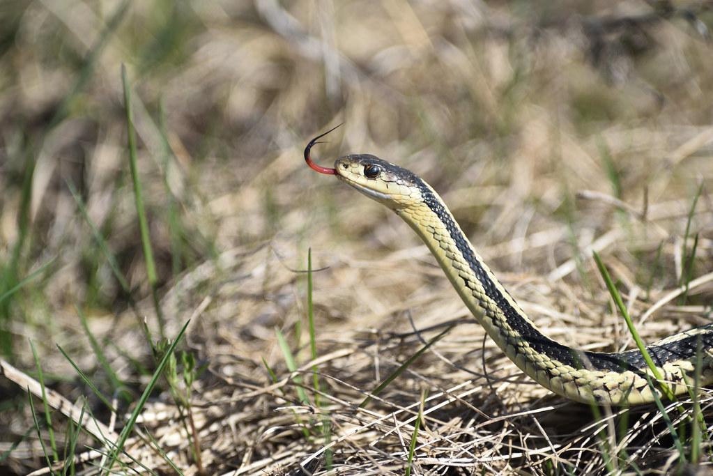 ... Garter Snake (com. Garden Snake) | By Mirekkrol@rogers.com