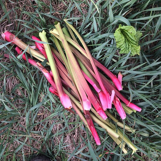 The rhubarb harvest always looks so much less impressive after it is beheaded. @breslinfarms #organic #rhubarb #spring