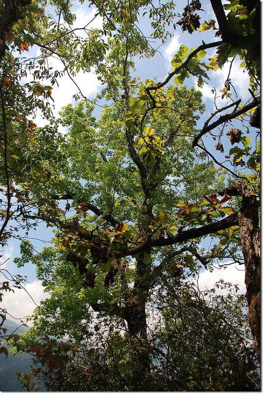 朗吾呂山槲樹、楓香混生林 2