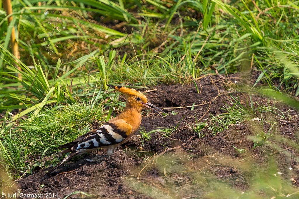 Hoopoe in search for meal