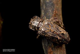 Longhorn beetle (Pterolophia sp.) - DSC_7478