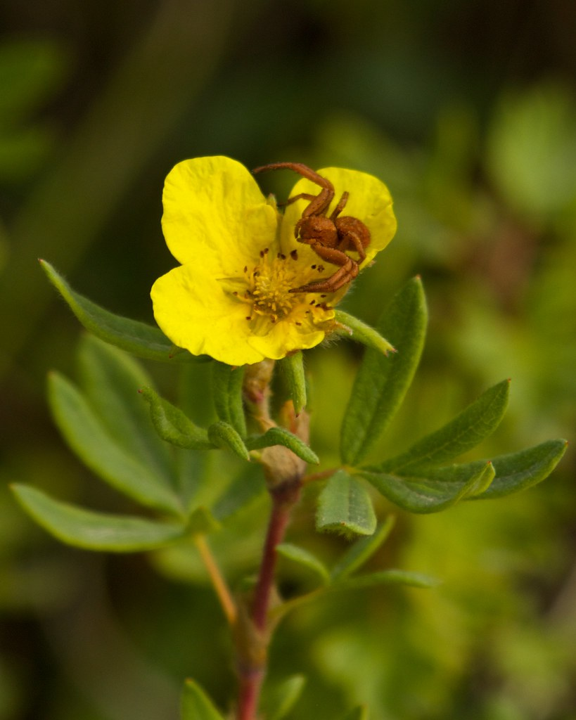 Crab Spider On Yellow Flower Tundra Rose Avens Flickr