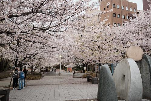 sakura at sakuragawa park