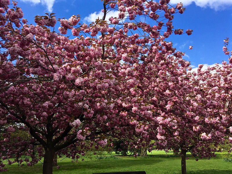 Greenwich Park cherry blossom avenue 2017