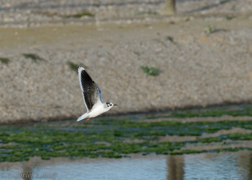 Mouette pygmée-Hydrocoloeus minutus - Little Gull 8117_DxO.jpg