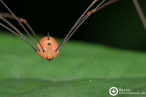 Harvestman | by PF T.J.