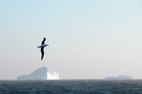 A wanderering Albatross amongst icebergs at South Georgia | by Mark Brandon