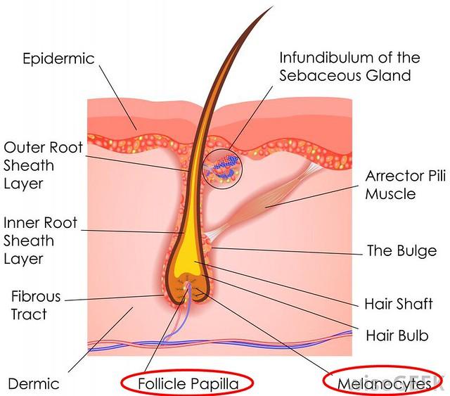 hair-anatomy-diagram
