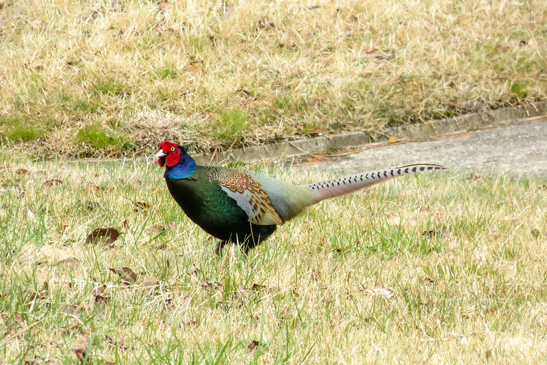 Green pheasant. Male