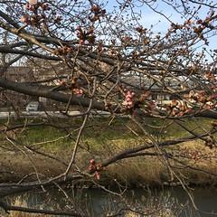 4月4日の桜