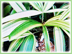 Rhapis excelsa cv. Variegata (Variegated Lady Palm, Variegated Bamboo Palm, Variegated Broadleaf Lady Palm) with focus on its petioled leaves