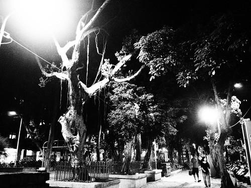 台北の公園のガジュマルの木のモノクロ写真