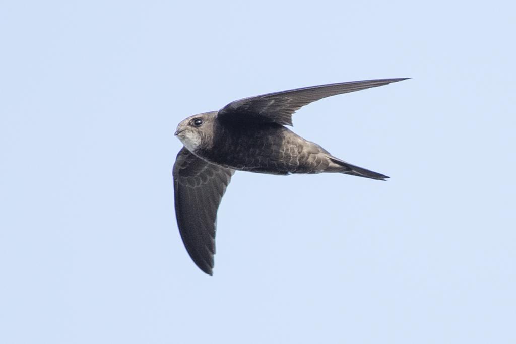 Common Swift  Apus(European) Apus