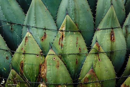 Agave plant pressed against a barbed wire fence in the Cuchumatanes mountains | by Phil Marion