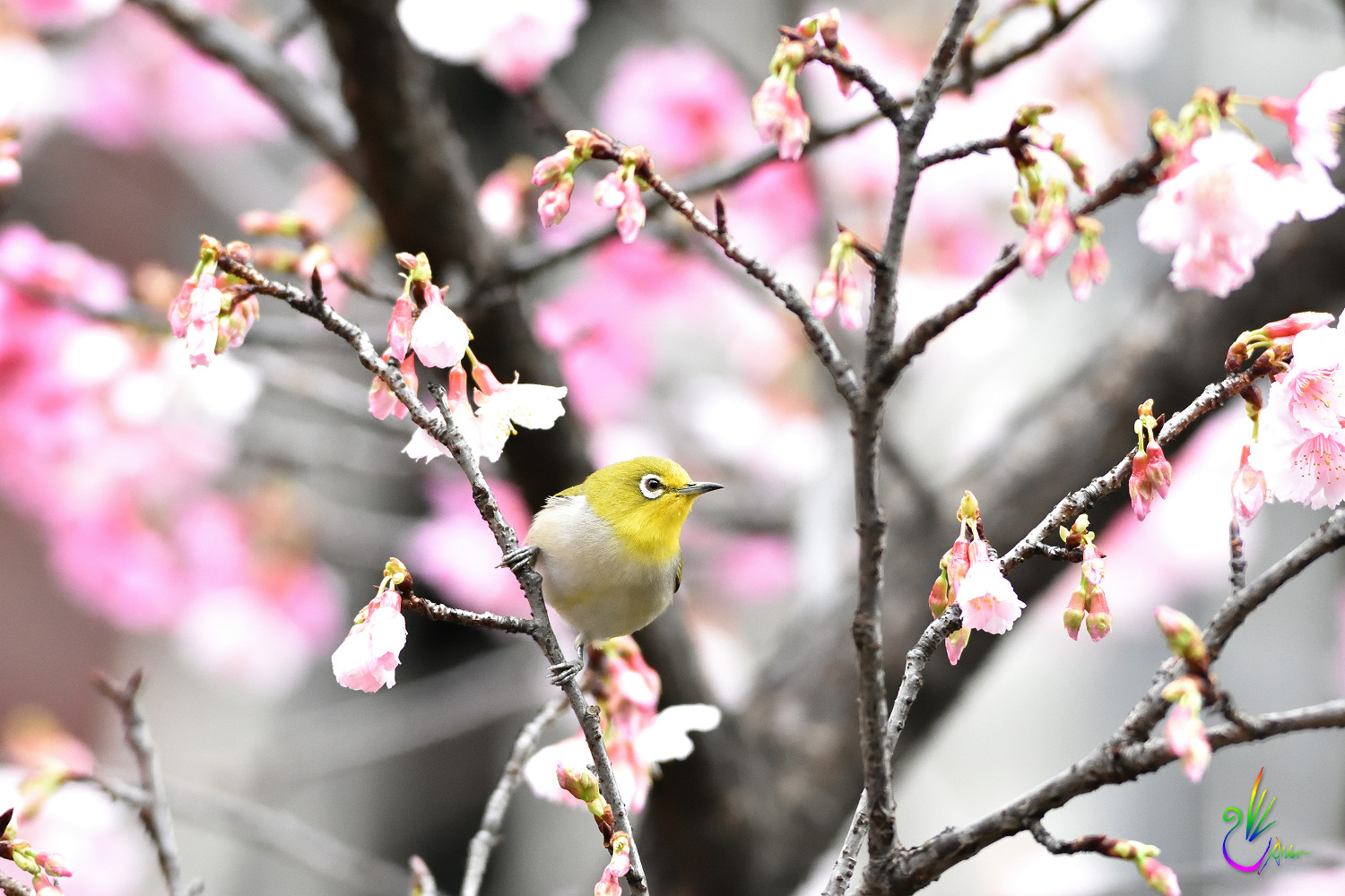 Sakura_White-eye_1542