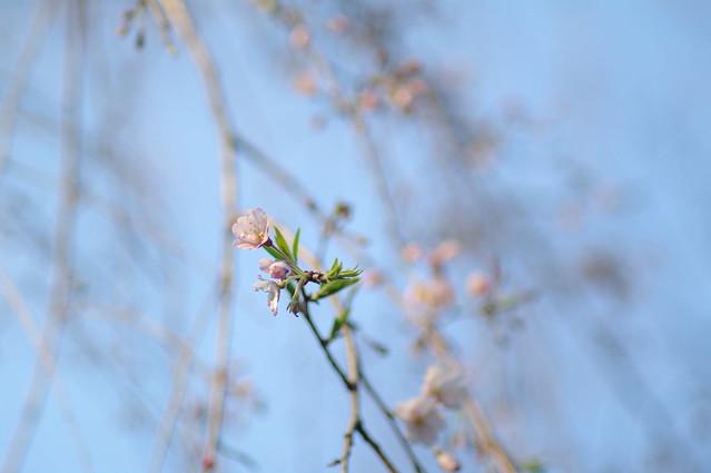 439 - wisteria2-kozo
