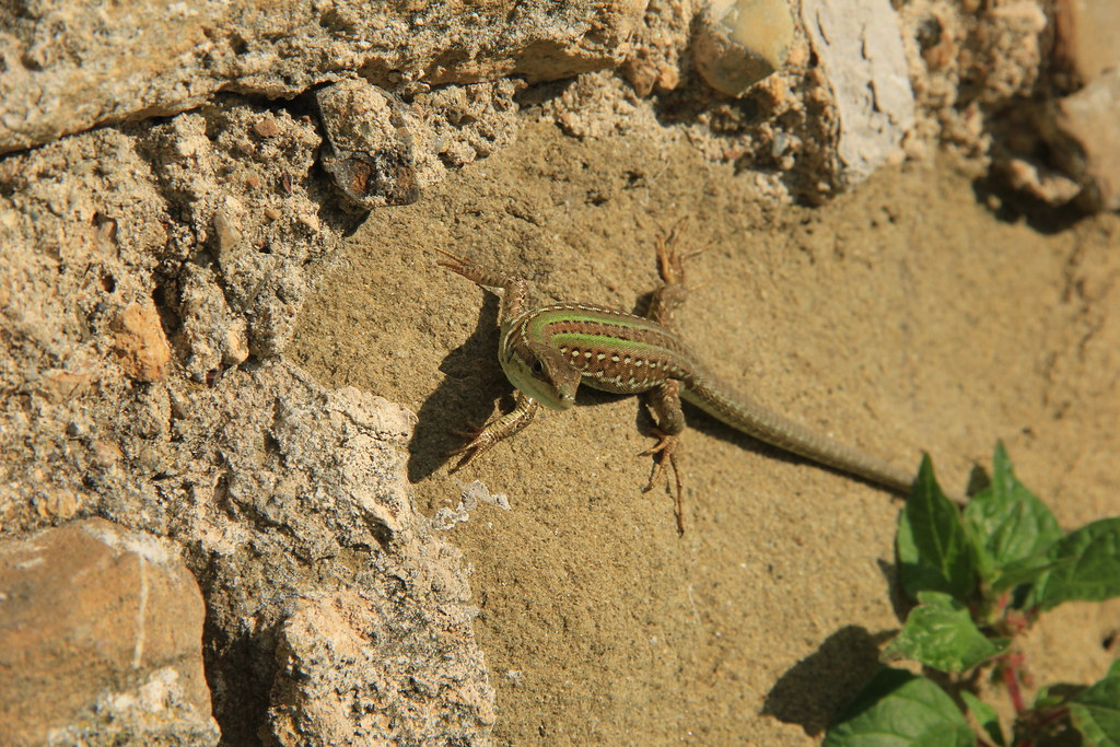 Lizard soaking up the sun at Abbazia di Sant'Antimo