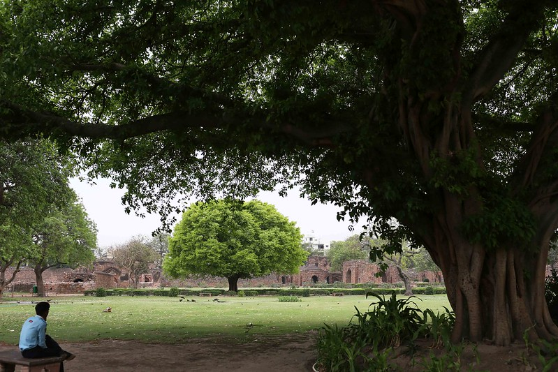 City Nature - The Grand Pilkhan Tree, Feroz Shah Kotla Ruins