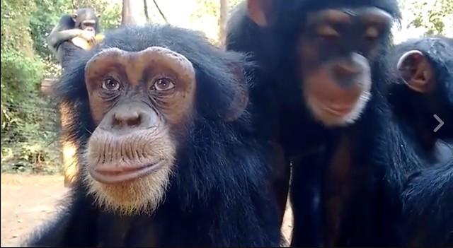 chimp3a