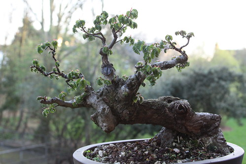 Wee Trees Bonsai Help Forum Advice For All View Topic English Elm Yamadori