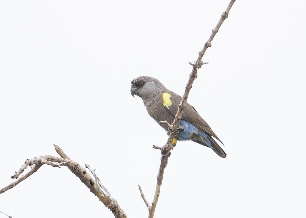 Ruppell's Parrot  Poicephalus Rueppellii
