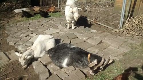 goats on paving Mar 17 6