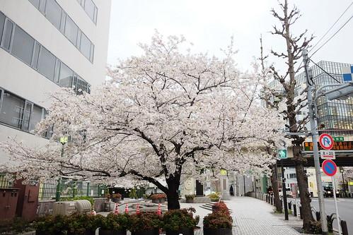 Kyobashi sakura blooming