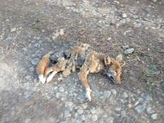 Poor Coyote