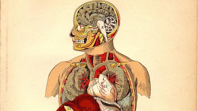 Órganos internos de un ser humano (1905)