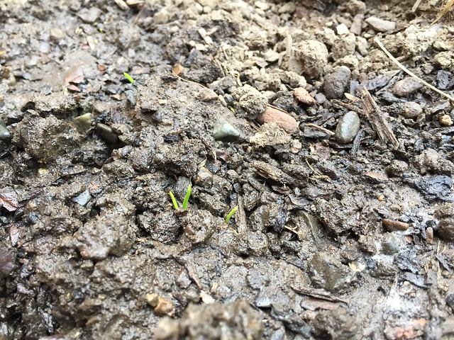 Sonora wheat sprouted
