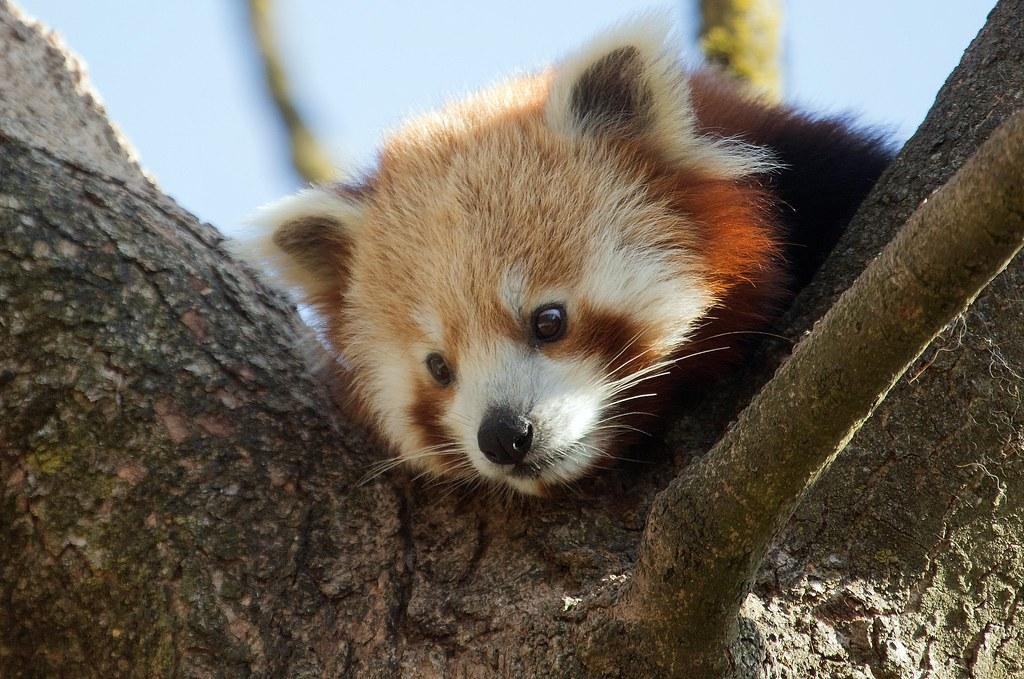 Pandabär Justin