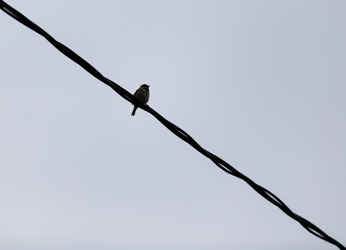 siluetti musta lintu puhelinlangalla