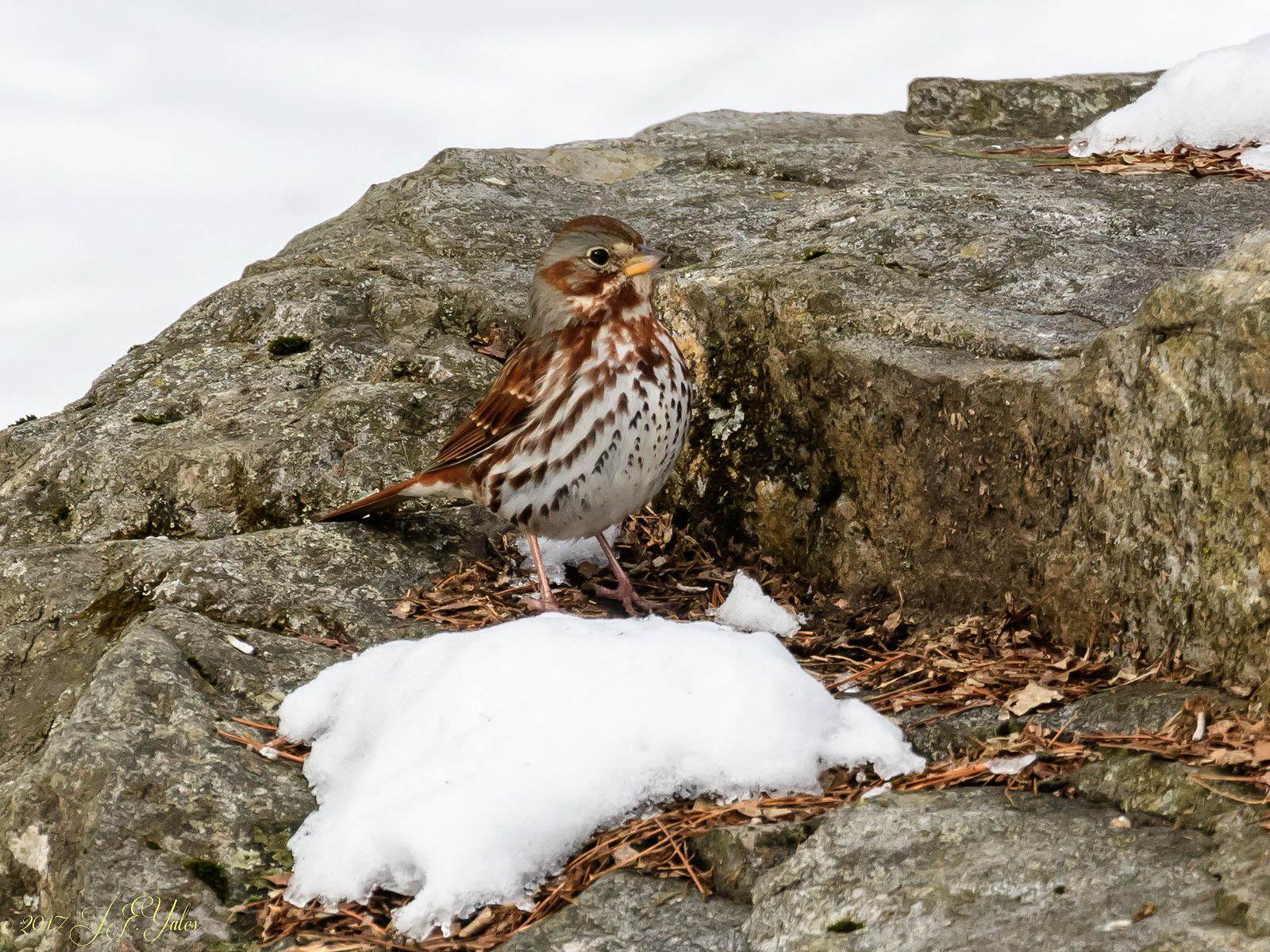 foxsparrow-3.jpg