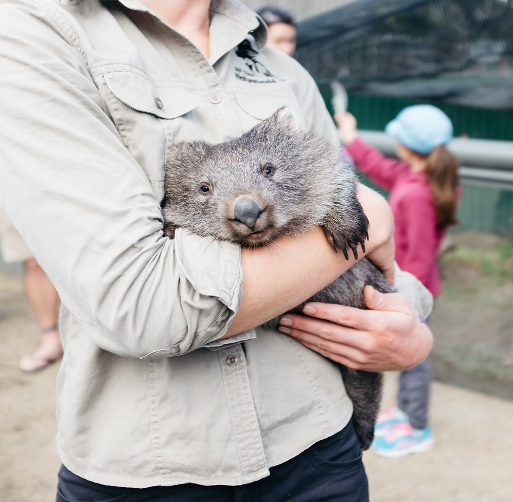 Esther the wombat