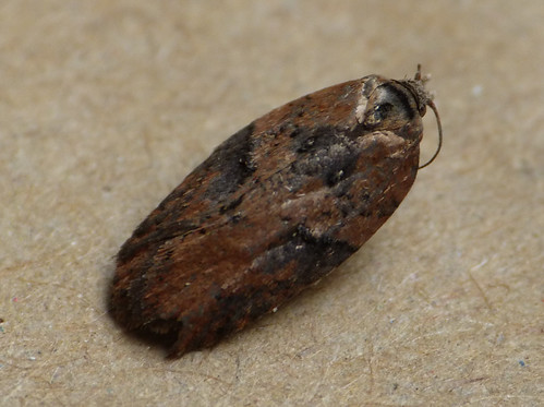 Acleris hastiana Tophill Low NR, East Yorkshire March 2017