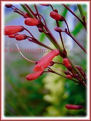 Russelia equisetiformis (Firecracker Plant, Coral Fountain/Plant, Fountain Plant, Coralblow) with red tubular flowers on rush-like stems, 9 April 2017