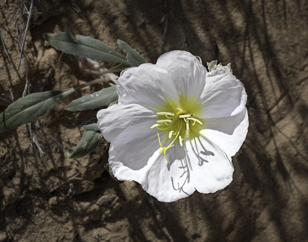 90246936929 87 White Desert Flowers Blooming In Valley Of Flickr