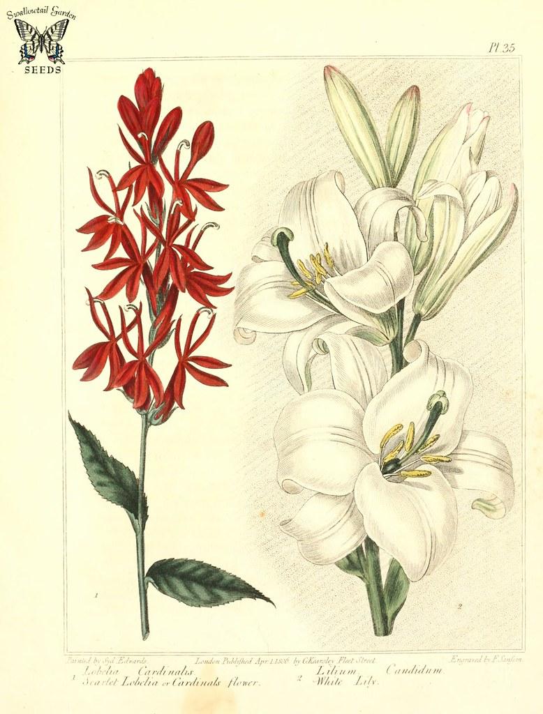 Scarlet Lobelia Cardinal Flower Lobelia Cardinalis And Flickr