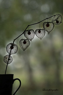 Amour en cage physalis alkekengi la plante est surtout - Amour en cage comestible ...