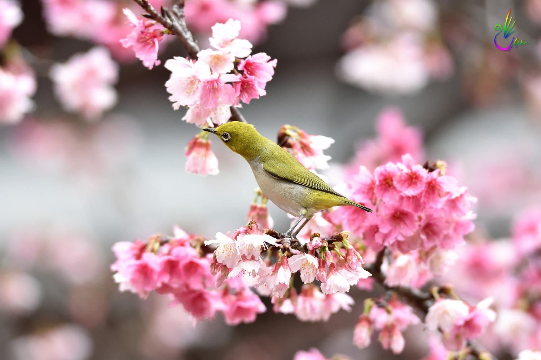 Sakura_White-eye_1066