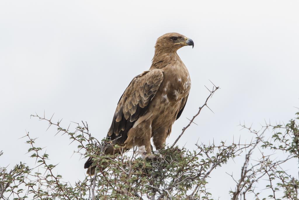 Tawny Eagle Aquila Rapax