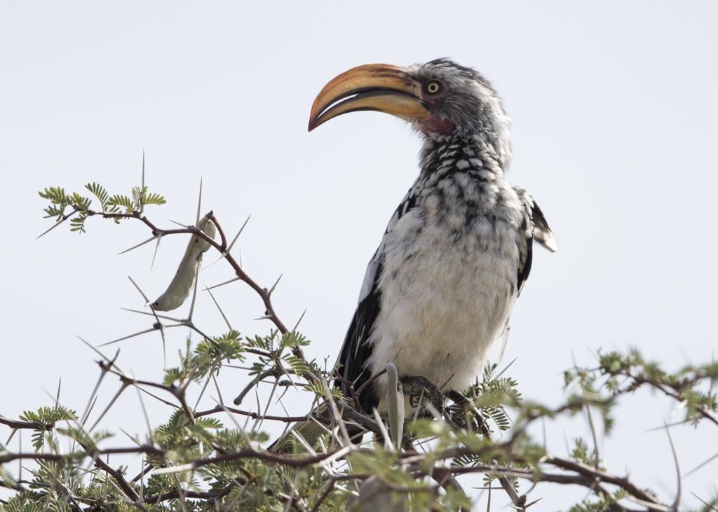 Southern Yellow-billed Hornbill  Tockus Leucomelas
