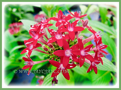 Rose-coloured flowers of Pentas lanceolata (Egyptian Star-cluster, Egyptian Star, Star Flower, Star Cluster, Pentas), 27 Sept 2013