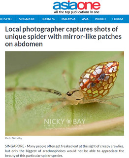 Local photographer captures shots of unique spider with mirror-like patches on abdomen