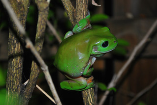 Green Tree Frog (Litoria Caerulea) | by CAUT