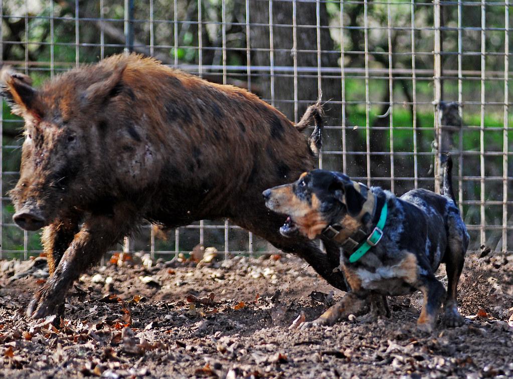 Hog Dog For Sale In Louisiana