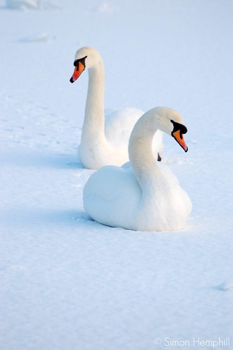 winter swans 2 | by fozzie75