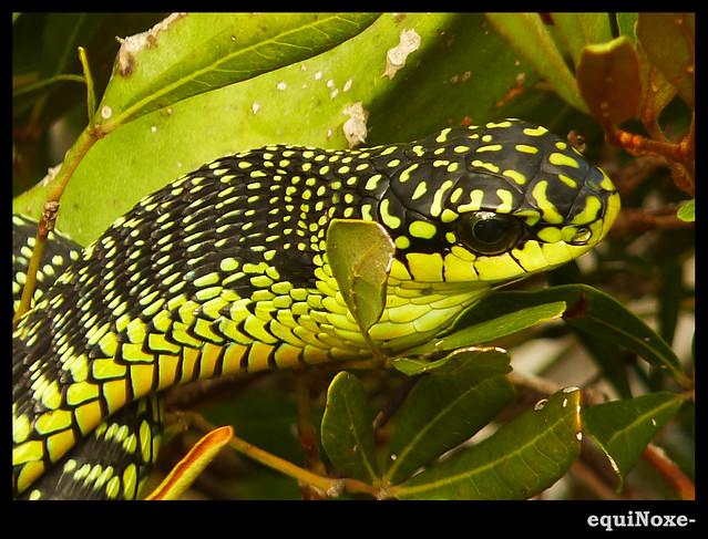 Boomslang   Boomslang Snake Kariega Game Reserve, Eastern Ca…   Flickr