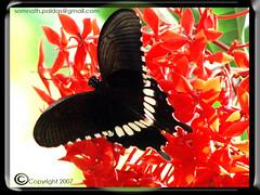 Common Mormon Butterfly on Rangon . Red Ixora coccinea  - 2.jpg