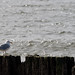 Seagull on Wood by the Ocean